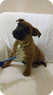 Shar Pei Mix Puppy for adoption in Salem, Oregon - Ranger
