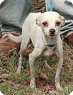 Chihuahua Dog for adoption in Plainfield, Connecticut - Spud (In New England)