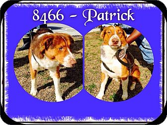 Welsh Corgi Mix Dog for adoption in Dillon, South Carolina - Patrick