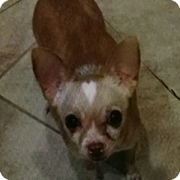 Adopt A Pet :: lovie - calimesa, CA