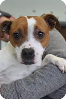 American Pit Bull Terrier/Jack Russell Terrier Mix Dog for adoption in Chicago, Illinois - Daisy Duke