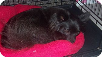 Pomeranian/Chihuahua Mix Dog for adoption in Spring Hill, Florida - Shadow