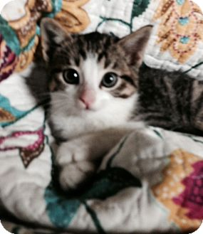 Domestic Mediumhair Kitten for adoption in Coppell, Texas - Percy
