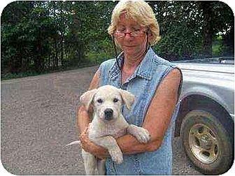 Labrador Retriever/Shepherd (Unknown Type) Mix Puppy for adoption in Williston Park, New York - Elliot