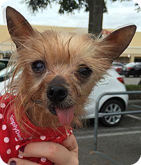 Yorkie, Yorkshire Terrier Dog for adoption in Orlando, Florida - Riva