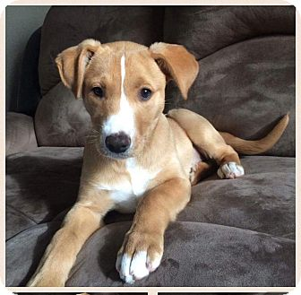 Labrador Retriever Mix Puppy for adoption in Concord, California - Harmony