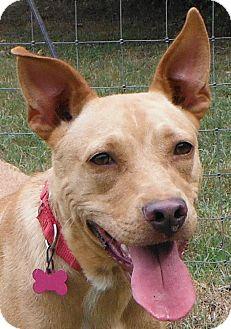 American Staffordshire Terrier/Cocker Spaniel Mix Dog for adoption in Cedartown, Georgia - Maddie