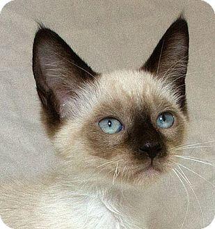 Siamese Kitten for adoption in Sacramento, California - Joleen M