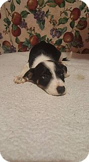 Border Collie/Catahoula Leopard Dog Mix Puppy for adoption in Hortense, Georgia - Cupcake