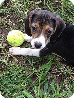 Beagle Puppy for adoption in Sanford, Florida - Mandy