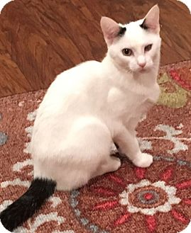Domestic Shorthair Cat for adoption in Elmwood Park, New Jersey - Elsie