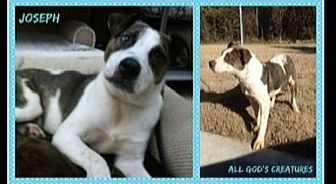 Mountain Cur Mix Dog for adoption in Beaumont, Texas - Joseph