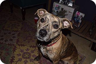 Catahoula Leopard Dog Mix Dog for adoption in Pottstown, Pennsylvania - Bella