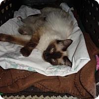 Adopt A Pet :: Cleopatra - Golden Valley, AZ