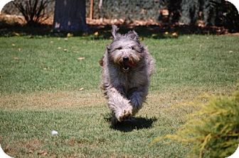 Bearded Collie Mix Dog for adoption in Antioch, California - River