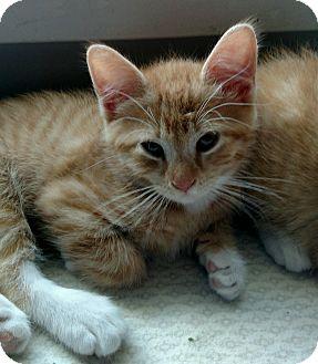 Domestic Mediumhair Kitten for adoption in Ypsilanti, Michigan - Bacardi
