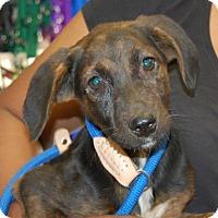 Adopt A Pet :: Jenny - Brooklyn, NY