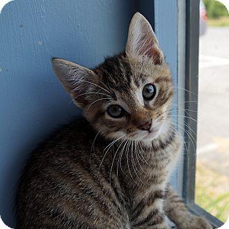 Domestic Shorthair Kitten for adoption in Maynardville, Tennessee - Thing 2