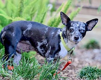 Dachshund/Chihuahua Mix Dog for adoption in Marina Del Ray, California - OPAL - video to view