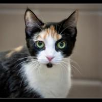 Adopt A Pet :: Kiera - Wickenburg, AZ