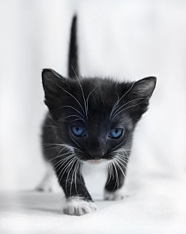 Domestic Mediumhair Kitten for adoption in Wayne, New Jersey - Brittany