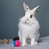 Adopt A Pet :: Bit O' Honey - Los Angeles, CA