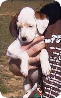 Bloodhound/Coonhound (Unknown Type) Mix Puppy for adoption in Vine Grove, Kentucky - Daisy May