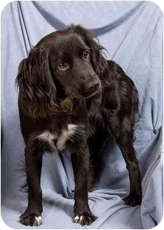 Cocker Spaniel Mix Dog for adoption in Anna, Illinois - LUCY