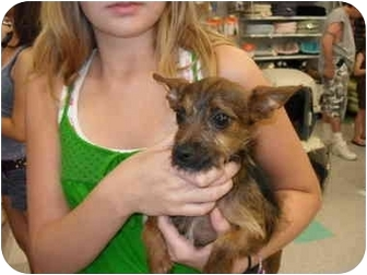 Cairn Terrier Mix Puppy for adoption in Lonedell, Missouri - Toto