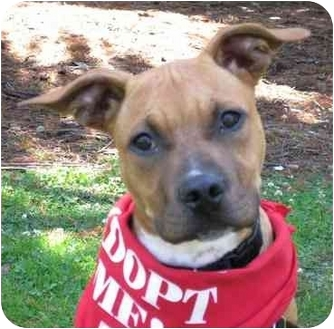 Boxer/Pit Bull Terrier Mix Puppy for adoption in San Diego, California - Reina
