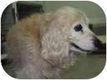 Cocker Spaniel Dog for adoption in Chicago, Illinois - Princess(ADOPTED!)
