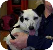 Jack Russell Terrier/Terrier (Unknown Type, Small) Mix Dog for adoption in Portland, Maine - Cupcake (Reduced Fee!)