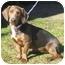 Photo 1 - Basset Hound/Dachshund Mix Dog for adoption in Portsmouth, Rhode Island - Patty