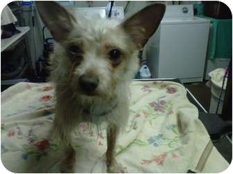 Chihuahua/Yorkie, Yorkshire Terrier Mix Dog for adoption in Bolton, Connecticut - Jayden