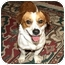 Photo 1 - Corgi/Beagle Mix Dog for adoption in Bellflower, California - Henry