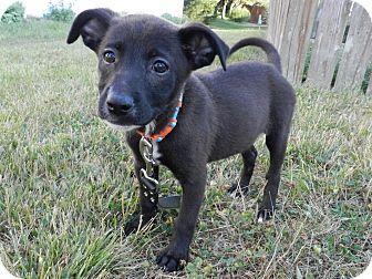 Labrador Retriever Mix Puppy for adoption in Brazil, Indiana - Sammy