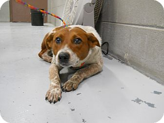 "Australian Cattle Dog Mix Dog for adoption in MARION, Virginia - ""Paprika"""