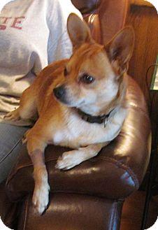 Chihuahua Dog for adoption in Cairo, Georgia - Rambo