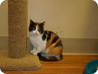 Calico Cat for adoption in Medina, Ohio - Miley