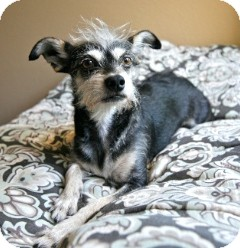 Terrier (Unknown Type, Small)/Chihuahua Mix Dog for adoption in Orange, California - Freddie