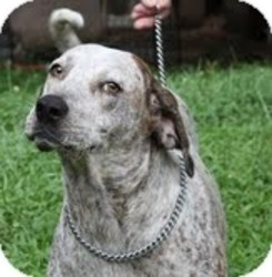English (Redtick) Coonhound Mix Dog for adoption in Rochester, New York - Speck($300 Happy Homing-Days f