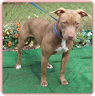 American Pit Bull Terrier Mix Dog for adoption in Marietta, Georgia - SADIE