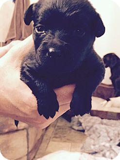 Labrador Retriever Mix Puppy for adoption in ST LOUIS, Missouri - Josefina