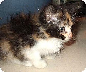 Domestic Longhair Kitten for adoption in Lenexa, Kansas - Rosy