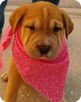 Mastiff/Golden Retriever Mix Puppy for adoption in Weeki Wachee, Florida - Shiloh