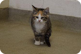 Calico Kitten for adoption in Bucyrus, Ohio - Capri Sun