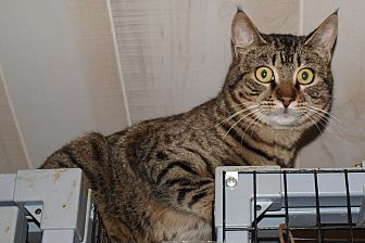 Domestic Shorthair Cat for adoption in Jackson, Mississippi - Meowser