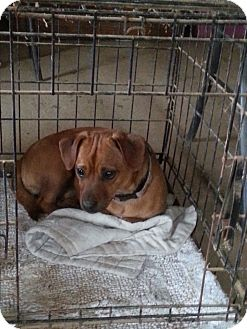 Dachshund/Pug Mix Dog for adoption in castalian springs, Tennessee - Miss Wiggles