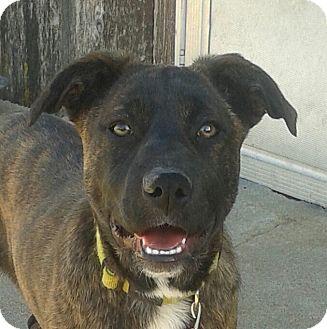 Plott Hound/Terrier (Unknown Type, Medium) Mix Puppy for adoption in Manhattan, Kansas - Byrn