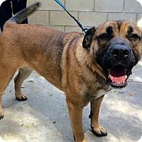 Adopt A Pet :: Gracie - La Mirada, CA